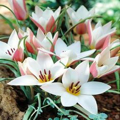 Tulip species Clusiana Lady Jane - 10 flower bulbs Buy online order yours now