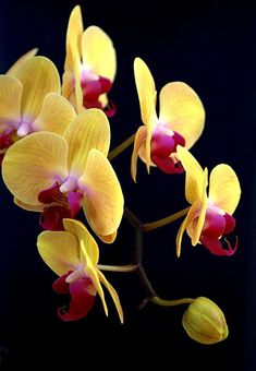 Yellow Orchids Photograph