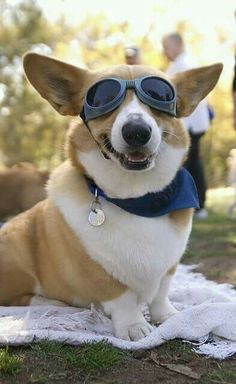 Corgis with doggles, ready for action