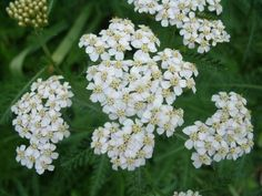 Yarrow Seeds - White YarrowThis easy growing pernnial wildflower is a favorite, mid season bloomer with high heat and drought tolerance. A million tiny flowers make up the unique clusters atop sturdy stems that are indicative of lovely White Yarrow. Bulb Flowers, Tiny Flowers, Dried Flowers, White Flowers, Beautiful Flowers, Planting Bulbs, Planting Flowers, Yarrow Plant, Clover Plant