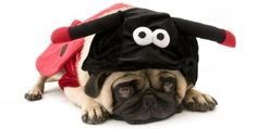 Shop Ladybug Pug Card created by DoggieAvenue. Cute Pugs, Cute Funny Animals, Funny Pugs, Amor Pug, Halloween Attractions, Pug Breed, Pugs In Costume, Ladybug Girl, Pug Mug