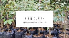 HP/WA*082-220-228-118, harga bibit durian montong di samarinda di pandeglang, harga bibit durian montong orange di pandeglang, harga bibit durian montong okulasi di tangerang, harga bibit durian montong asli, harga bibit durian montong majalengka, harga bibit durian montong di trubus, harga bibit durian montong merah, harga bibit durian montong jawa timur, harga bibit durian bawor di banyumas, harga bibit durian bawor kaki 3  #hargabibitdurianmontongdisamarindadilebak… Letter Board, Lettering, Education, Business, Letters, Texting, Educational Illustrations, Learning, Calligraphy