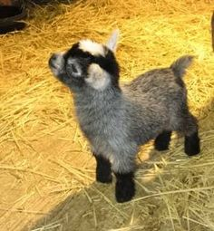 Baby pygmy goat. He will go nicely with my Sebastian addition.