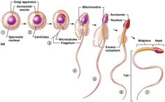 Reproductive systems Male and female and Lactation