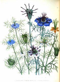 Hortus Camdenensis | Nigella damascena L. var. romana