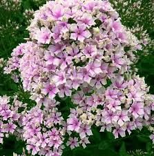 phlox starburst - Google Search