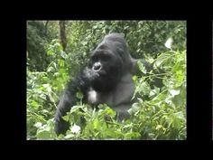 Tracking Mountain Gorillas on safari with Nomad Africa Adventure Tours