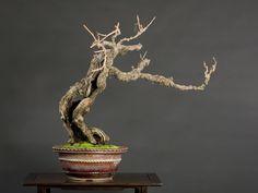 grape bonsai   Bonsai   Sam & KJ's Suiseki Blog (水石)   Page 3
