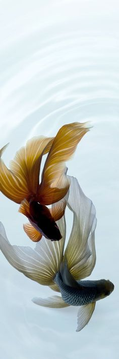 Siamese Fighting Fish, or a pair of Betta Fish. Beautiful Creatures, Animals Beautiful, Carpe Koi, Beta Fish, Fish Fish, Siamese Fighting Fish, Beautiful Fish, Pretty Fish, Water Life