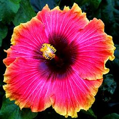 giant hibiscus seeds Hibiscus Bonsai Flower for home garden planting kinds mixed colors seeds Tropical Flowers, Hawaiian Flowers, Hibiscus Flowers, Exotic Flowers, Tropical Garden, Tropical Plants, Beautiful Flowers, Lilies Flowers, Cactus Flower