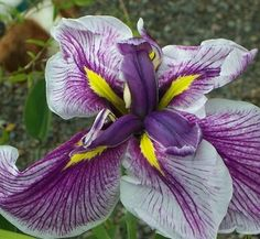 Iris ensata 'Flashing Koi' 1 flower Bog Plants, Growing Plants, Bog Garden, Home And Garden, Japanese Iris, Garden Fountains, Cut Flowers, Yard Landscaping, Horticulture