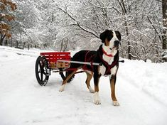 Greater Swiss Mountain Dog doing what he was bred to do: Carting. My little boys would go crazy about a dog that could pull them around.