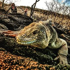 Searching for the elusive Galapagos land iguana. Have you seen it?