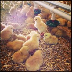 Baby spring chickens! So adorable.