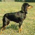 berner laufhund photo   de Zwitserse Laufhund