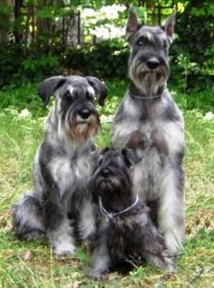 Schnauzer mini, standard and giant