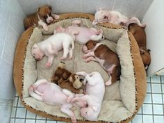 Eight Boxer Puppies and one toy monkey = Heaven! Look at those cute sleeping positions....