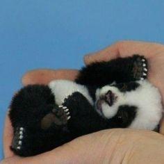 Baby panda. So tiny!