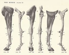 Vintage Horse Leg Anatomy Illustration Book Page