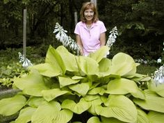 "Hosta 'Key West' with breeder Olga Petryszn. Which is 33"" height x 6 feet across and slug resistant, heart-shade leaves are huge, averaging 11"" wide and 15 "" long, held upright on sturdy stems."