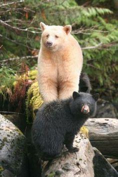 Spirit Bear from the Great Bear Rainforest (Canada)