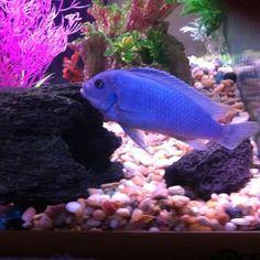 African cichlids - Cobalt Blue Zebra