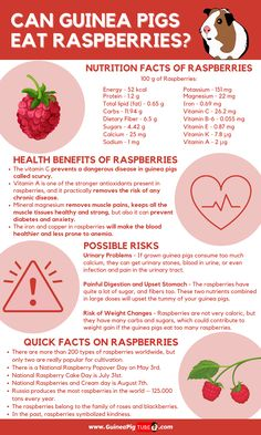 Guinea Pig Food, Cute Guinea Pigs, Guinea Pig Care, Raspberry Benefits, Pig Facts, Food Facts, Pigs Eating, Pig Ideas