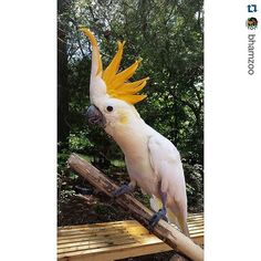 #Repost @bhamzoo with @repostapp.  This weeks wonderful #FanPhotoFriday was submitted by Christie Ezekiel and shows one of the cockatoos at the Birmingham Zoo. Thank you for submitting this wonderful photo Christie! Are you interested in seeing your photo on the Zoos #FanPhotoFriday? Its easy! Visit the Zoo take photos of your favorite animals and submit them to the Zoo in a Facebook message.