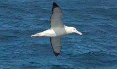 Gliding above the ocean with a wingspan of up to 3.5mts the #Albatross is a mighty beautiful bird. Whilst on Lord Howe you may be lucky enough to catch a glimpse of these #majestic #birds soaring with the wind. They are known to travel for 5-10 years before they land to nest, and their food searching trips can last for as long as 50 days.  Photo Credit - Ian Hutton