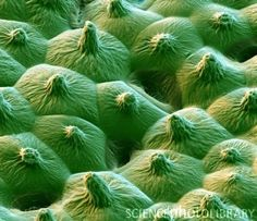 Colored SEM showing the microstructures on the surface of a leaf from a lotus (Nelumbo sp.) plant.
