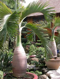 Buy bottle palm tree seeds exotic plants bonsai tree tropical ornamental fresh Smaller Shop at Wish - Shopping Made Fun Palm Trees Landscaping, Florida Landscaping, Tropical Landscaping, Backyard Landscaping, Backyard Bbq, Palm Garden, Tropical Garden Design, Garden Plants, Garden Art