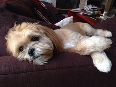 Life is so tough for a Lhasa Apso