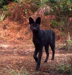 Black Melanistic Serval Cat Kenya