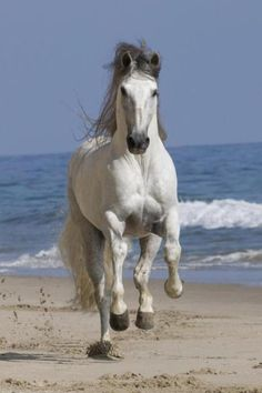 White grey Andalusian horse running on the beach coming towards you. Beautiful picture with surf and waves in background! Most Beautiful Horses, All The Pretty Horses, Animals Beautiful, Horse Photos, Horse Pictures, Andalusian Horse, Friesian Horse, Arabian Horses, Running On The Beach
