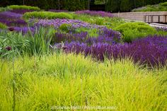 Autumn Moor Grass, Sesleria autumnalis, ornamental grass with Meadow Sage (Salvia x sylvestris) in Lurie Garden at Millenium Park, Chicago with blue and purple Meadow Sage.