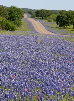 Texas Blue Bonnets in the Hill Country Texas Hill Country, Country Roads, West Texas, Texas Bluebonnets, Loving Texas, Texas Travel, Blue Bonnets, Belle Photo, Wild Flowers