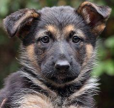 Faye von Fendi is a 7-week-old German Shepherd puppy. www.sheprescue.org Westside German Shepherd Rescue