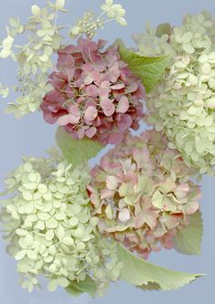 I absolutely love Hydrangeas. They're so beautiful and they come in all my favorite colors