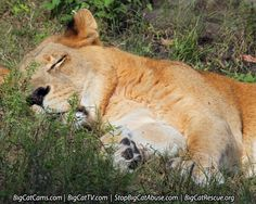 AWE..... Cameron enjoys just 'lion' around in the soft grass.