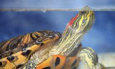 Tips para cuidar tortugas acuáticas
