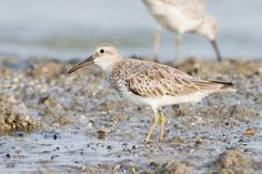The great knot (Calidris tenuirostris) is a small wader. Their breeding habitat is tundra in northeast Siberia. They are strongly migratory -- wintering on coasts in southern Asia through to Australia. #birds #greatknot