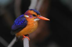African Pygmy Kingfisher (Ceyx pictus) by Rainbirder at Abuko Forest Reserve, Gambia: A tiny Kingfisher which prefers small shaded forest pools where it feeds mainly on insects. These wee birds positively golw in the dark gloomy understory of the forest. #Birds #African_Pygmy_Kingfisher #Rainbirder