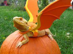 Bearded dragon, dragon costume :3