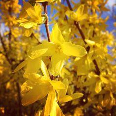 Belle journée à vous ! #printemps #campagne #instaflower #yellowflower #balade #nature #forme #coaching #zen #color #ligne #saison #spring #sun #motivation #lifestyle #nutrition #blogger #bloggerstyle #controledepoids #entrepreneur #arbuste #plante #yellow