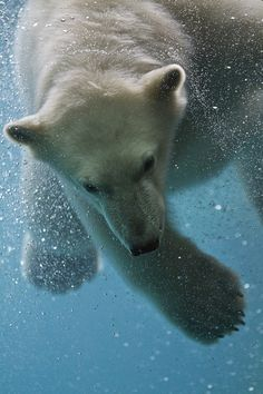 i love polar bears! Water Animals, Animals And Pets, Baby Animals, Baby Giraffes, Amazing Animal Pictures, Bear Pictures, Wild Animals Photography, Underwater Painting, Belleza Natural