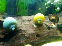 Mystery Snail assortment 4 pack - Alpha Pro Breeders