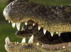 The jaws of a crocodile might be the last place you want to find yourself, but crocodilian moms actually carry their young in their mouths to keep them safe!