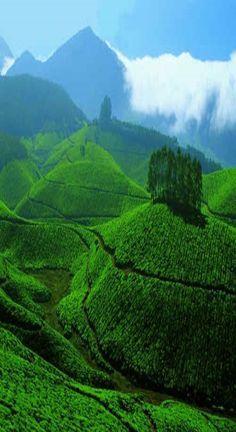 Tea garden, Sylhet; Bangladesh http://ticketalltime.com/