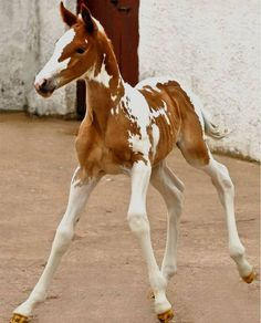Mom!! how do you control these things? Little paint foal on wobbly legs. #SaddlesForSale #Horses #MySaddleTrader