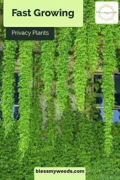 5 Fast Growing Privacy Plants Keep Out! 5 Fast Growing Privacy Plants ~ Bless My Weeds Fast Growing Privacy Shrubs, Shrubs For Privacy, Fast Growing Vines, Fast Growing Evergreens, Privacy Trees, Privacy Landscaping, Fast Growing Plants, Outdoor Privacy, Backyard Privacy